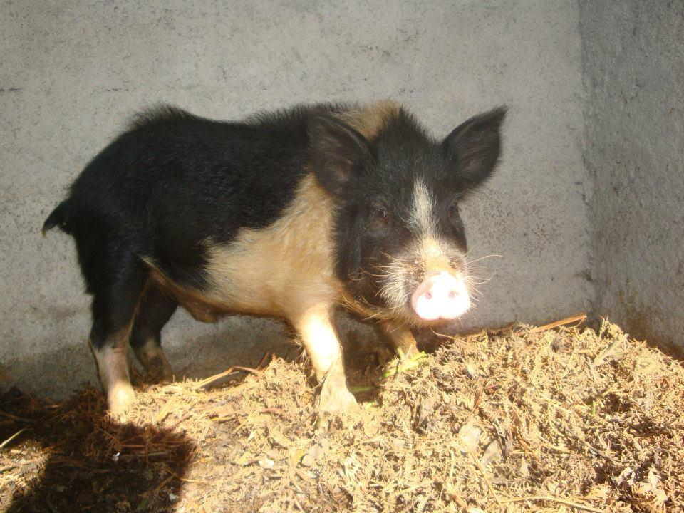 Porco-veterinarios-madeira.jpg